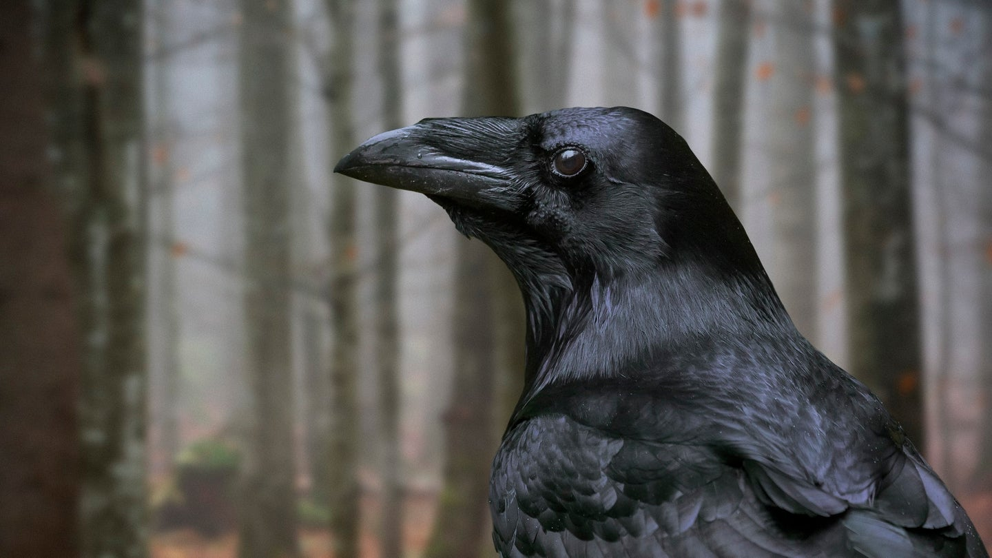 Close up of common raven